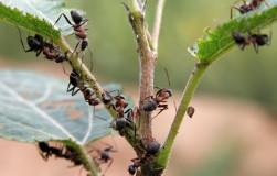 Чем убить садового муравья
