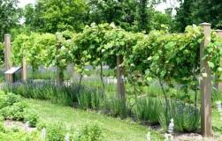Совместимость винограда с различными растениями