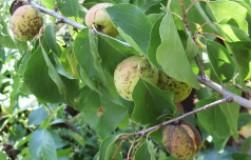 Гибнет абрикос – напал коккомикоз