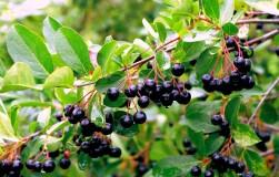 Черноплодная рябина: арония мичурина