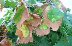 Помощь кустам при поражении гербицидами