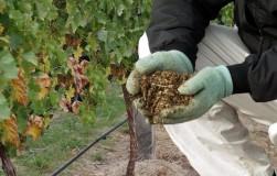 Виноградные подкормки