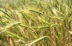 Тритикале – гибрид ржи и пшеницы