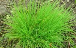 Газонная трава – полевица