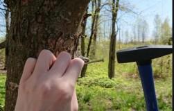 Мифы о забивании гвоздей в деревья