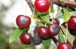 Спасите наши вишни