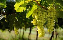 Как работает Кабрио Топ на винограднике