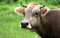 Стресс у коровы