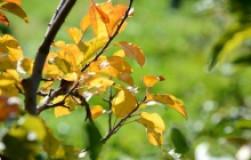 Ранняя осень в саду: опасная желтизна