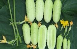 За ними встают в очередь: белоплодные огурцы