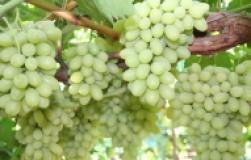 Сорт винограда Сахарные капли