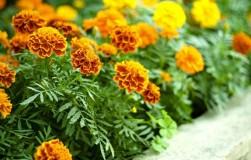 Бархатцы: украшение цветника и защита земляники