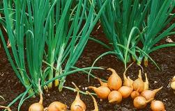 Особенный лук: посадил одну луковку – выкопал десять