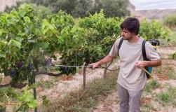 Чем и когда подкормить виноград