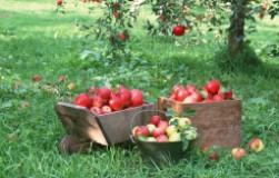 Почему они осыпаются (сливы, яблони, груши и др.)