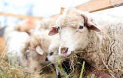 Осторожно: брадзот овец и коз