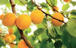 Вырастите абрикос из косточки