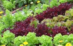 А посадите-ка на клумбу... салат!