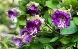 Каскад цветов из одного семечка кобеи