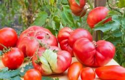 ТОП-10 самых мясных помидоров. Запасаемся семенами