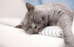 Кошка храпит во сне – это норма