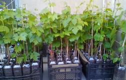 О чем надо помнить, покупая саженцы винограда