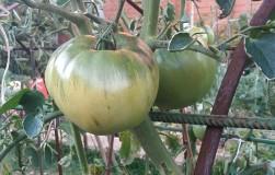 Универсальный способ полива и подкормки томатов