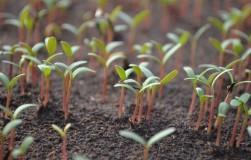 О заглублении семян при посеве