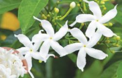 Жасмин самбак: и ароматерапия, и полезный чай