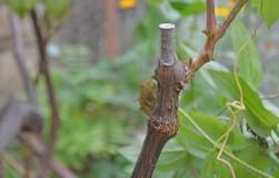 Десять золотых правил прививки винограда