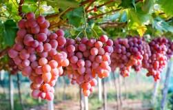 Японские сорта винограда на наших участках