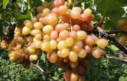 Суперновинки виноградной моды