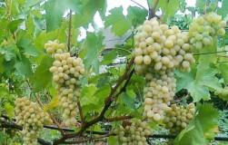 Ланселот – виноград для начинающих