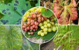 Скажи «нет» болезням винограда