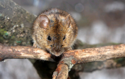Мыши погрызли кору: все пропало?