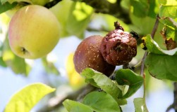 Почему гниет урожай яблок