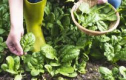 Посадите шпинат на грядку