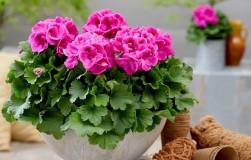 Пеларгония королевская – королева среди комнатных цветов