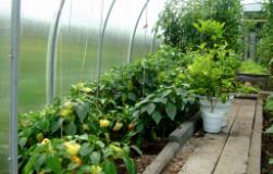 Как правильно совмещать овощи в теплице
