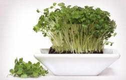 Посадите кресс-салат