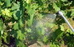 Обработка винограда гиббереллином и другими фитогормонами