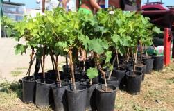 Виноград: инструкция для новичка
