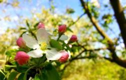 Мешают ли яблоки-мумии цветению?