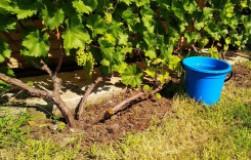 Самая важная подкормка винограда
