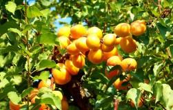 Триумф северный и другие северные сорта абрикосов