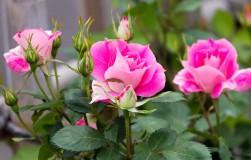 Точная копия: клонируем понравившиеся розы