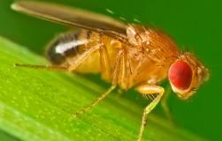 Урожаю угрожают… мухи!