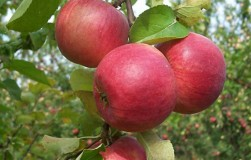 Летний график обработки яблонь