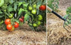 Как правильно мульчировать помидоры