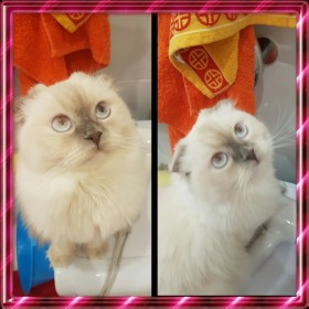 Кошечка с голубыми глазами